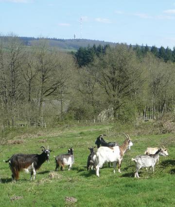 Chèvres sur les parcelles du Montaigu